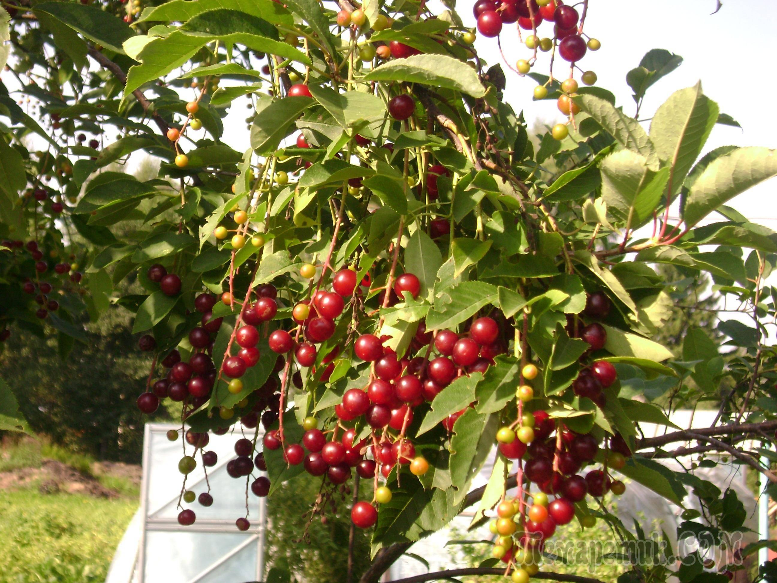 Гибрид вишни и черемухи: описание церападуса, сорта, посадка и уход, полезные свойства