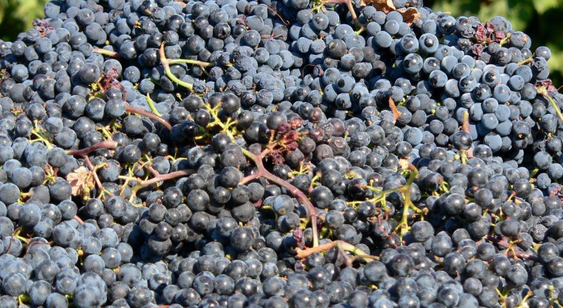 Красавец из бордо — виноград сорта «мерло»