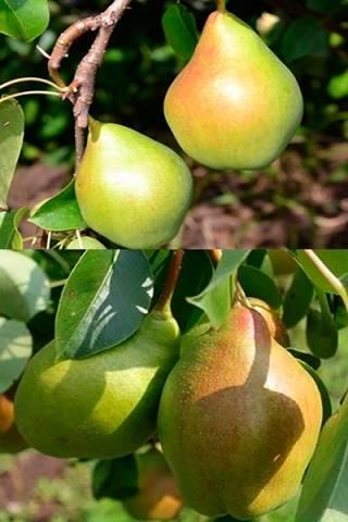 ✅ о груше феерия: описание и характеристики сорта, посадка, уход, выращивание - tehnomir32.ru