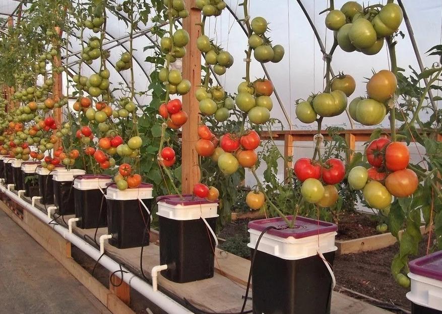 Пошаговая инструкция выращивания томатов по голландской технологи
