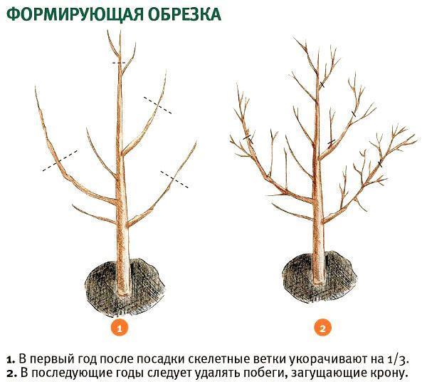 Абрикос маньчжурский — описание сорта и отзывы с фото
