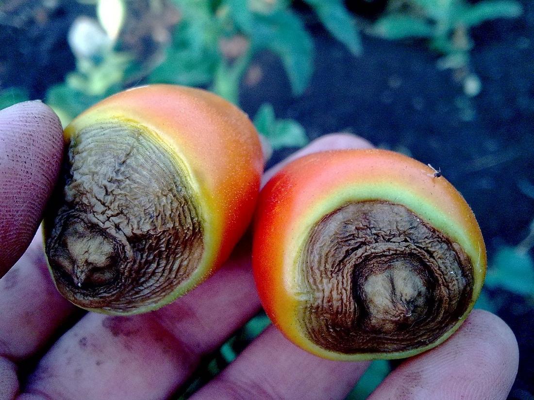 Вершинная гниль томатов меры борьбы, фото и видео