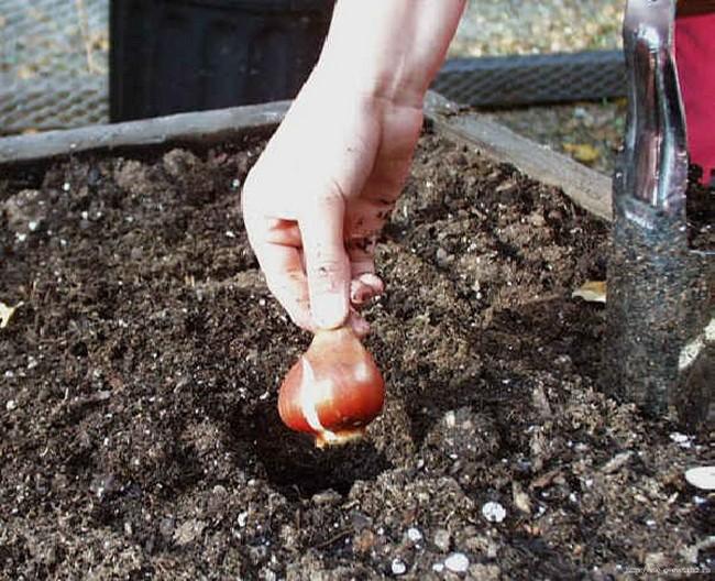 Тюльпаны: посадка осенью в открытый грунт, подготовка тюльпанов к зиме