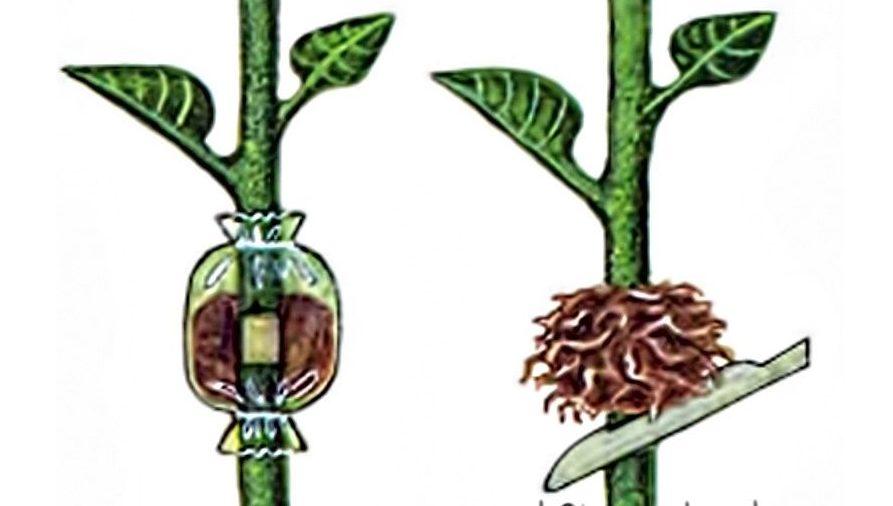 Укоренение черенков яблони одревесневшими без прививки