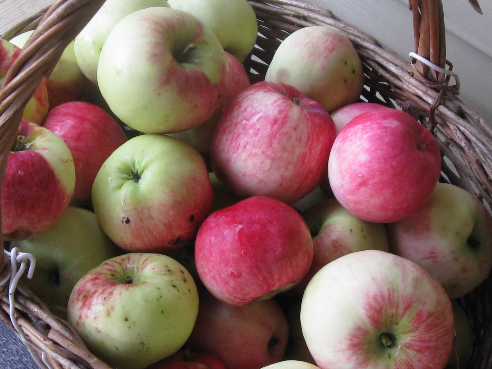 Сорт яблок гала: описание, характеристки, где растёт, болезни и вредители