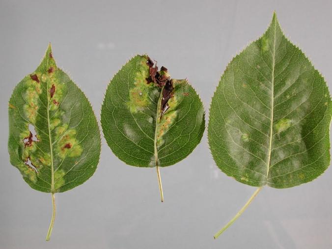 Обрабатываем грушу от болезней и вредителей