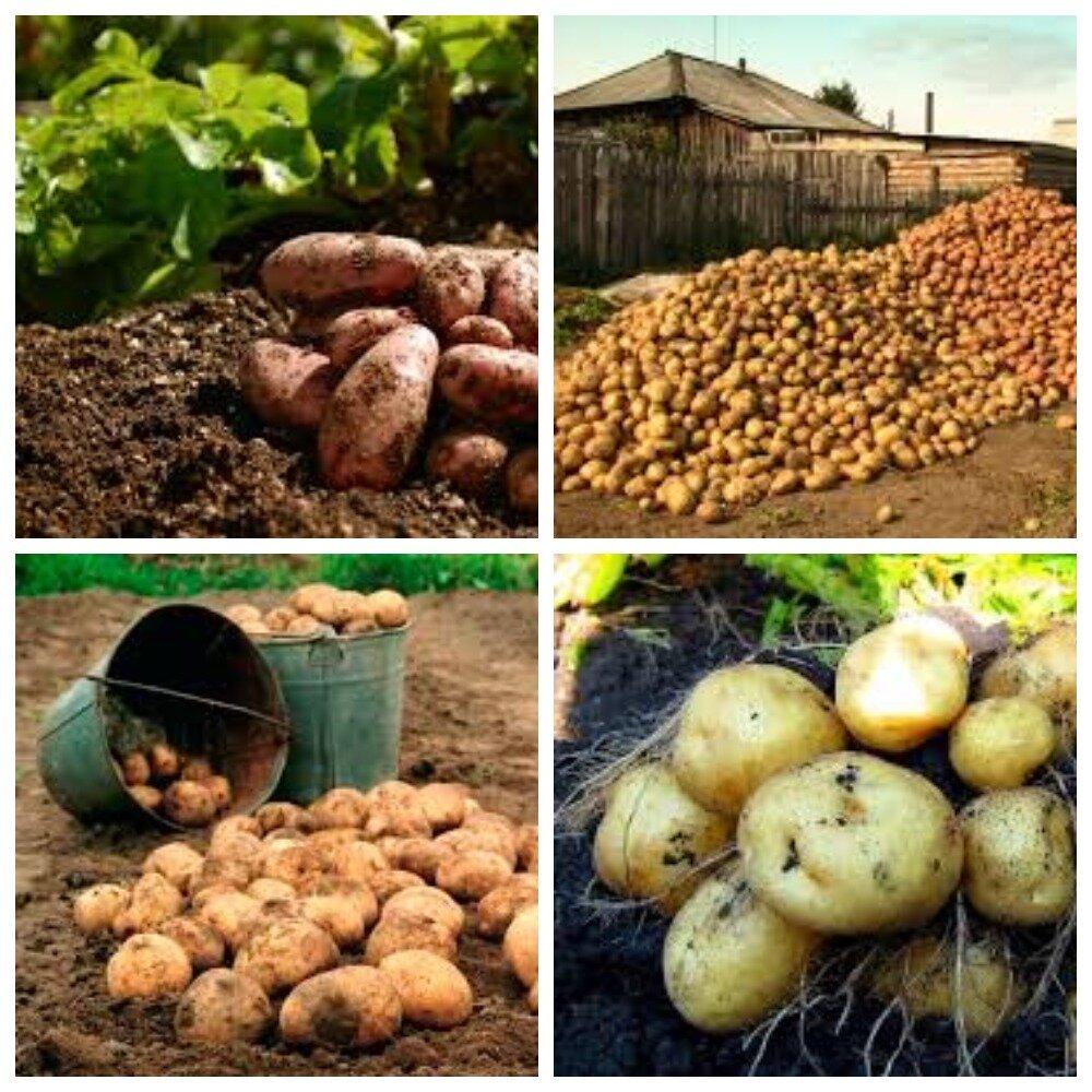 Всё о том, как посадить картофель, чтобы был хороший урожай