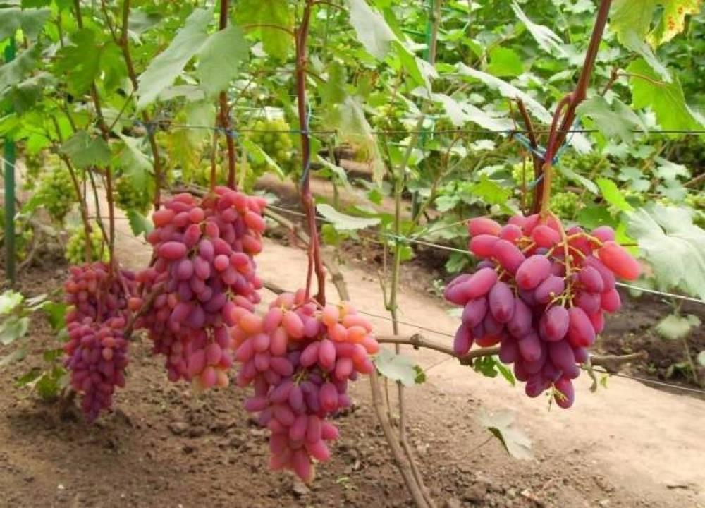 Сорт винограда юбилей новочеркасска: описание сорта, характеристика, посадка, уход