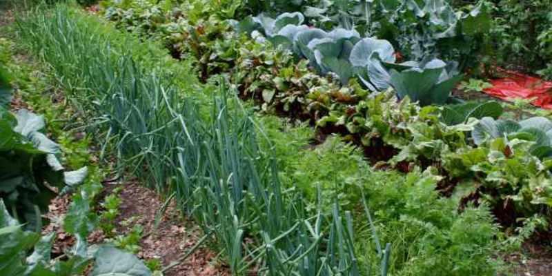 Горький перец - с чем рядом садить: благоприятные соседи по грядке