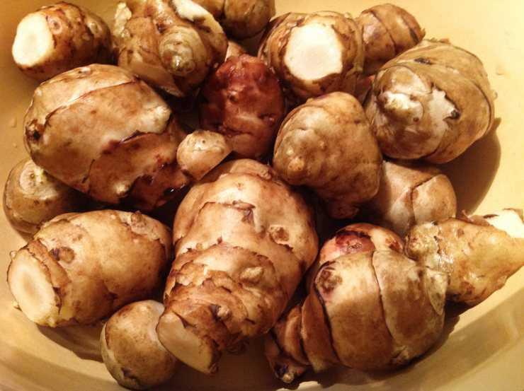 Топинамбур или земляная груша - что это такое, особенности выращивания, как сажать и выращивать на даче, фото