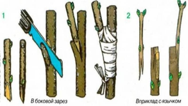 Выращивание крыжовника какбизнес | good-tips.pro