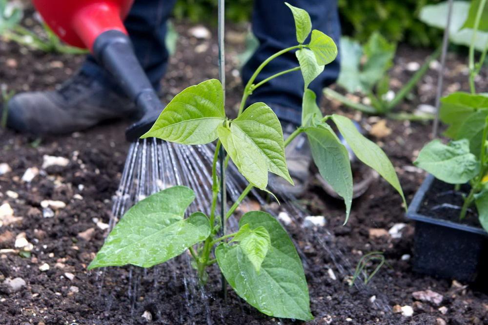 Посадка фасоли в открытый грунт: сроки и правила выращивания