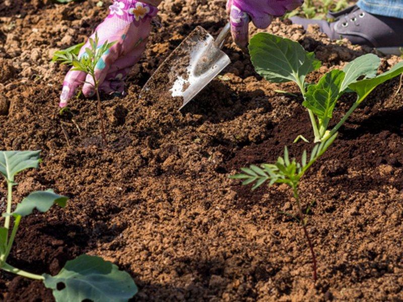 Правила выращивания цветной капусты в открытом грунте и в теплице