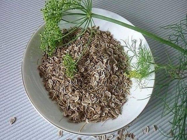 Семена укропа — польза и вред