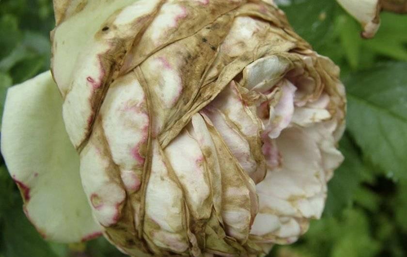 Почему комнатная роза сбрасывает листья и засыхает, каковы причины, по которым опадают бутоны, и что делать, если домашнее растение в горшке потеряло все? selo.guru — интернет портал о сельском хозяйстве