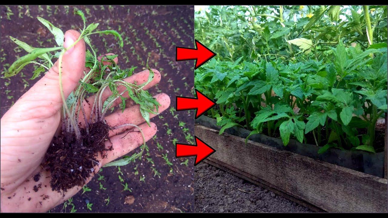 Переросла рассада помидоров – что делать, как спасти растения, если высаживать рано, видео