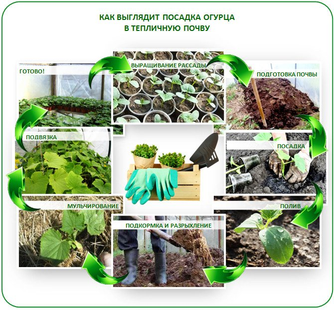 Выращивание рассады капусты в домашних условиях: все от посева на рассаду до высадки в грунт