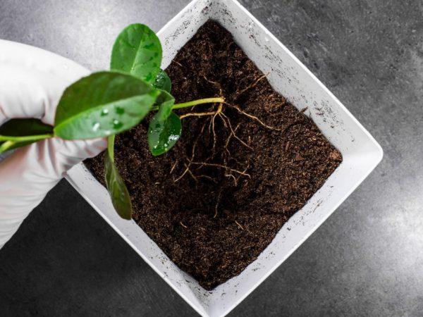Какая почва нужна для фикуса в домашних условиях: виды, подбор и посадка