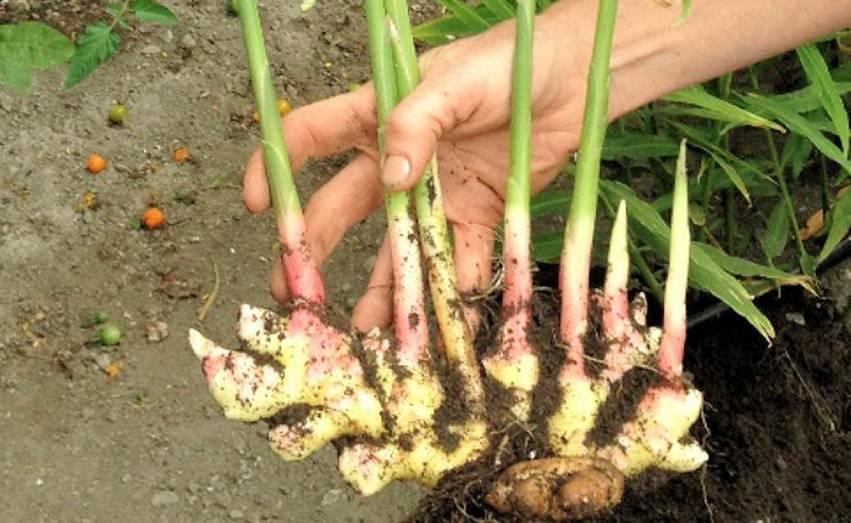 Выращивание имбиря в средней полосе, посадка имбиря и уход в саду   мир садоводства
