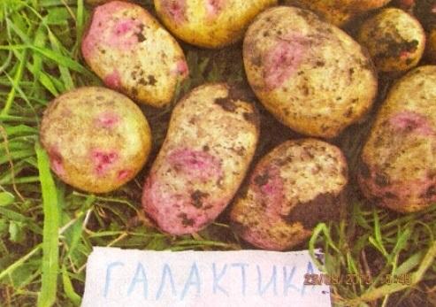 """Картофель сорта """"чародей"""" - характеристики и уход"""