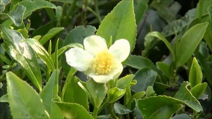Выращиваем чай дома. чайный куст, или камелия китайская. уход, выращивание, размножение. фото — ботаничка.ru