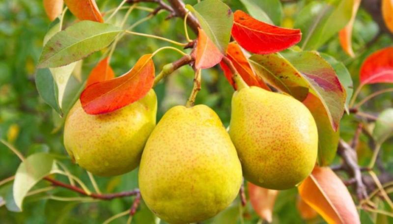 Сорт груши просто мария, описание, характеристика и отзывы, особенности выращивания