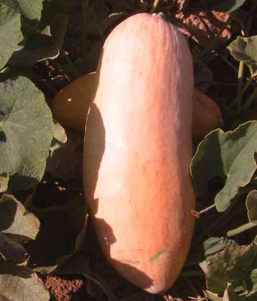 Описание сорта тыквы розовый банан, особенности выращивания и ухода