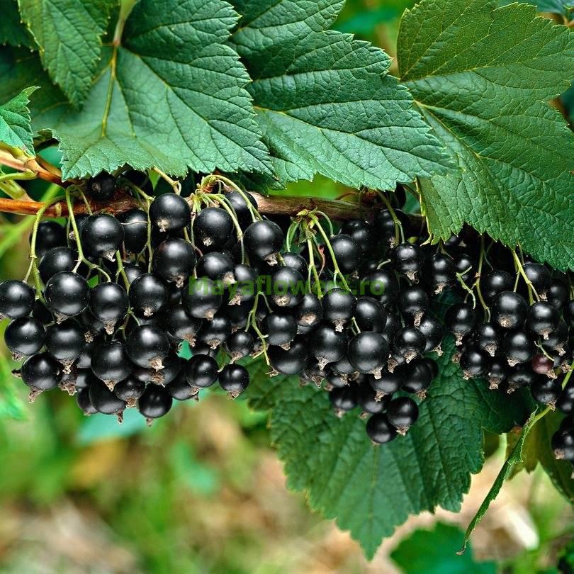 Вариант выбора: чёрная смородина добрыня, особенности посадки, выращивания, ухода