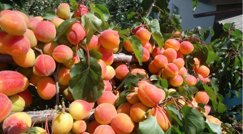 Сорта абрикос: описание, преимущества и недостатки ранних, среднеспелых, поздних, с мелкими плодами, белых абрикосов