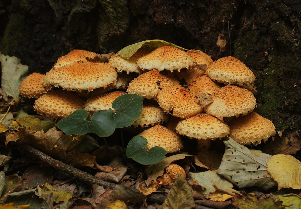 Королевские опята (чешуйчатка золотистая) + фото: лесной деликатес!
