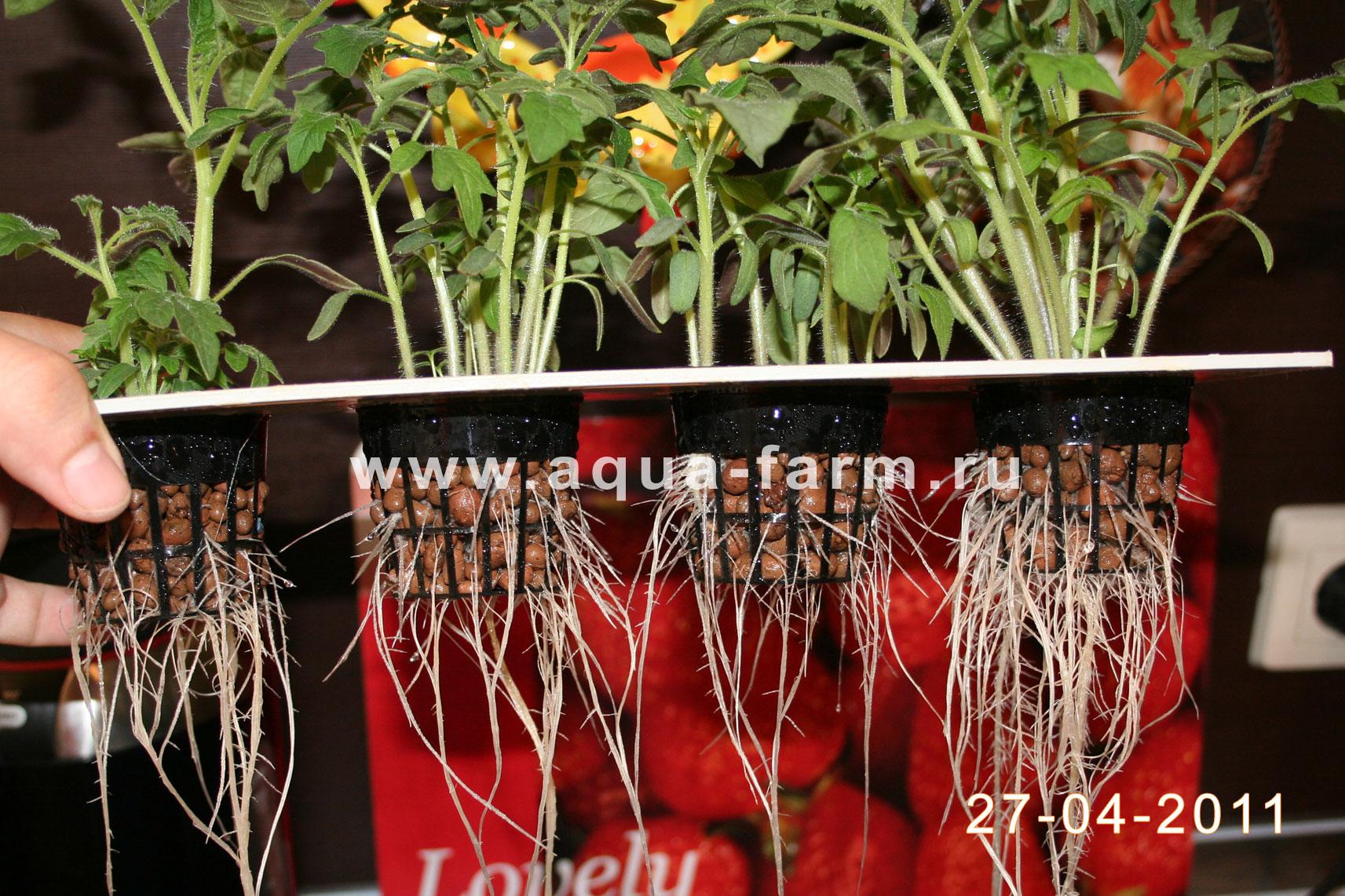 Выращивание помидоров на гидропонике в домашних условиях и теплице, видео и фото