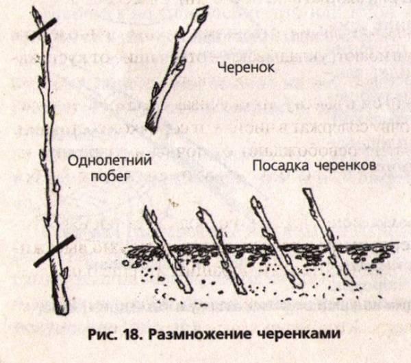 Как вырастить саженцы яблони. все этапы процесса: как выбрать, взять, обрезать будущий посадочный материал и т.п.