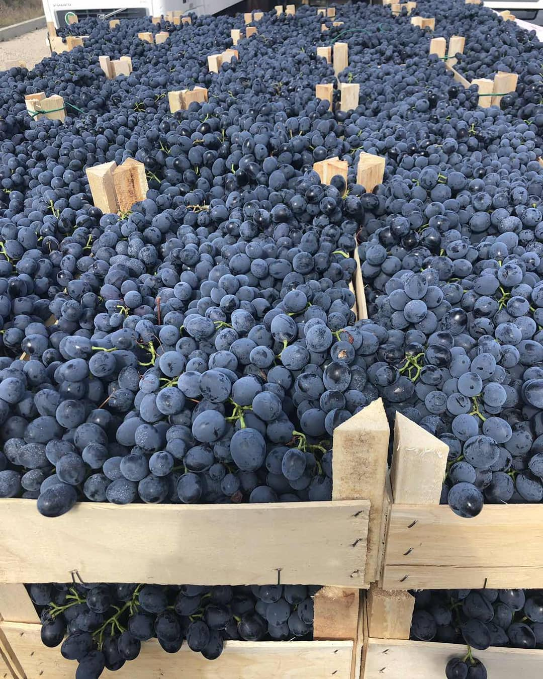 Виноград молдова: описание сорта, выращивание