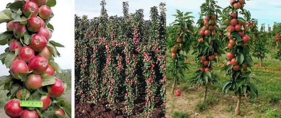 Колоновидная яблоня останкино, описание сорта, фото, отзывы, посадка и уход
