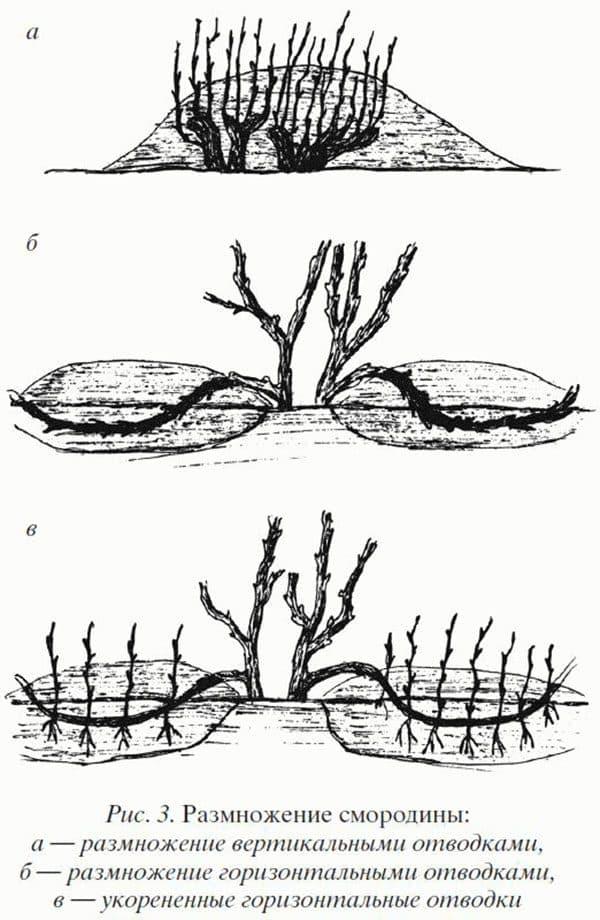 Как размножить крыжовник, размножение отводками, черенками и другие способы