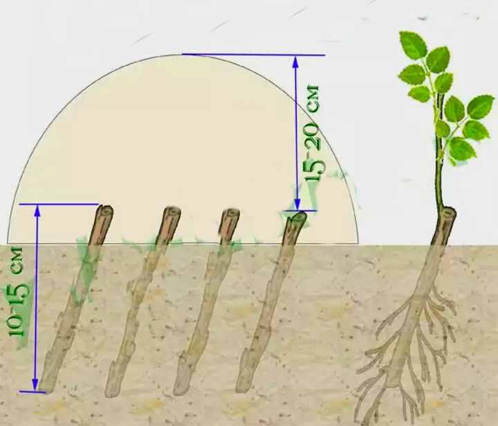 Роза флорибунда: выращивание и уход в открытом грунте.   растюнька