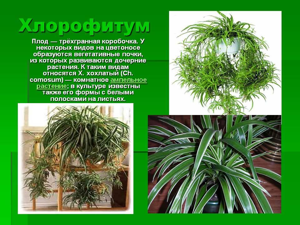 Хлорофитум: уход в домашних условиях, фото видов и сортов, размножение, что делать, если сохнут кончики листьев и при поражении болезнями + видео