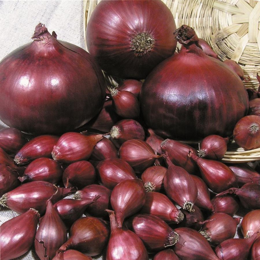 Характеристика лука Кармен, выращивание и уход за грядками
