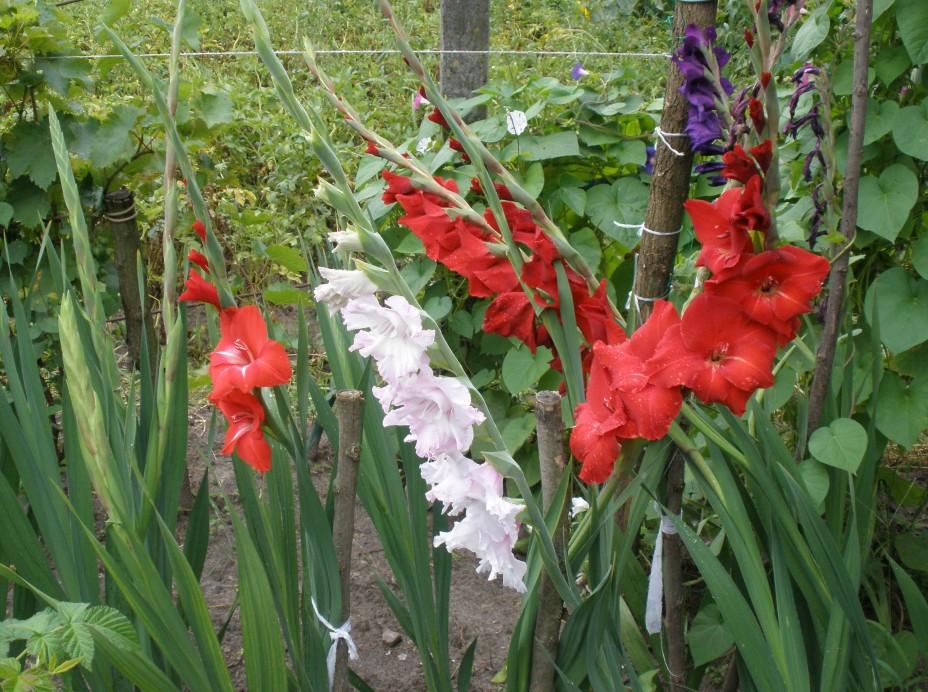 Гладиолусы - история названия, посадка весной в грунт, выращивание, уход.