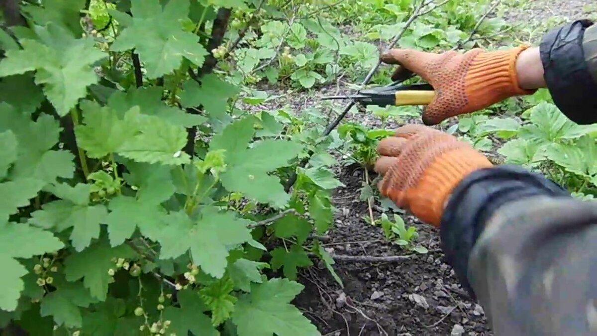 Как можно омолодить черную смородину и улучшить урожай