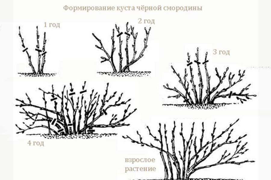 Как омолодить куст черной смородины и улучшить урожай: схема омолаживающей обрезки с разъяснениями