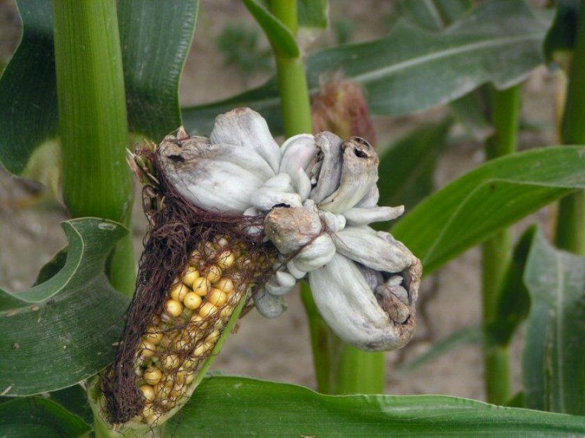 Болезни кукурузы, фото, их признаки и меры борьбы - фермеры россии