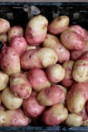 Картофель иван да марья: описание сорта, фото, характеристика, отзывы