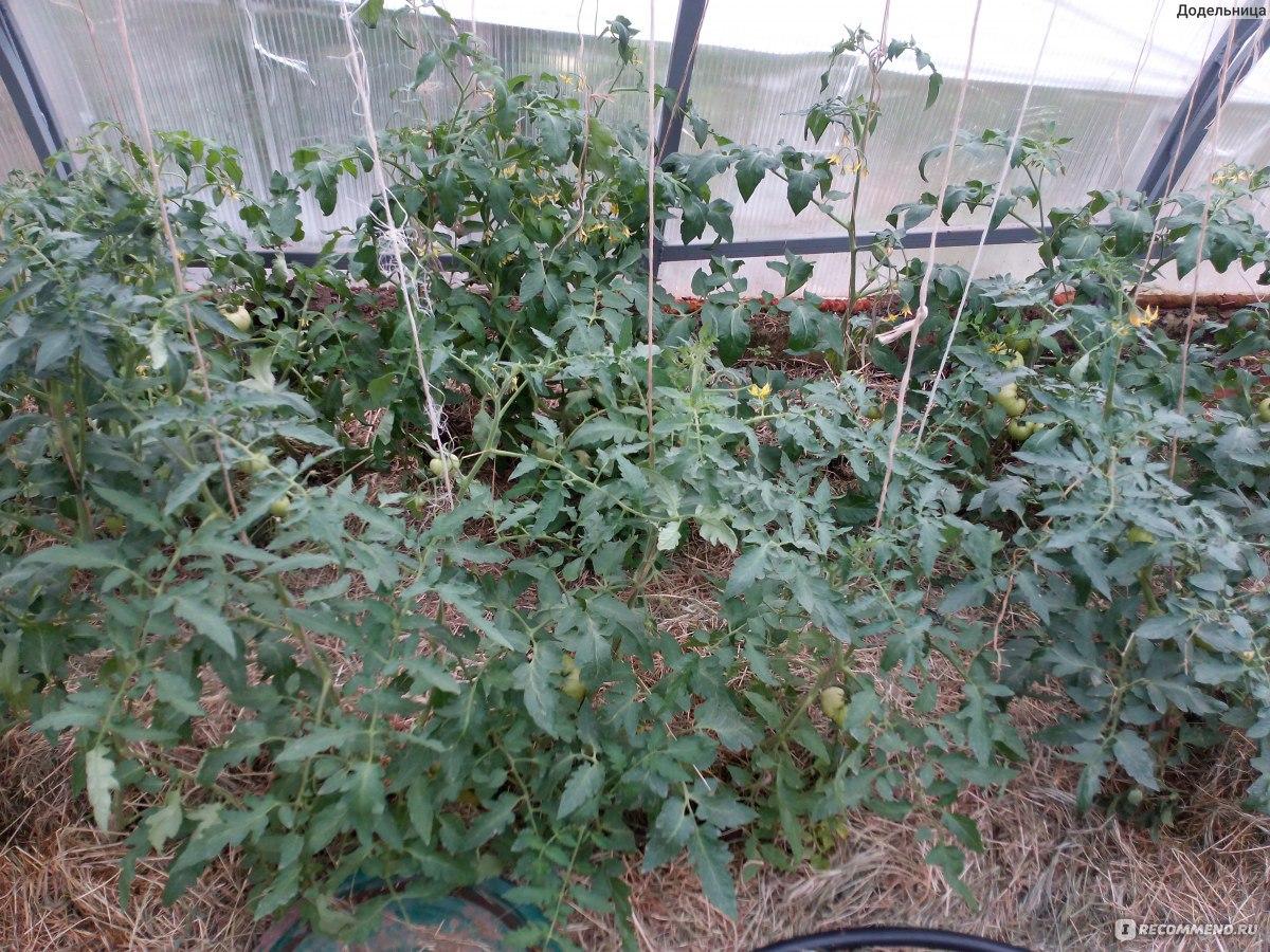 Помидоры «хали-гали» (14 фото): описание, характеристика и урожайность сорта томатов, отзывы