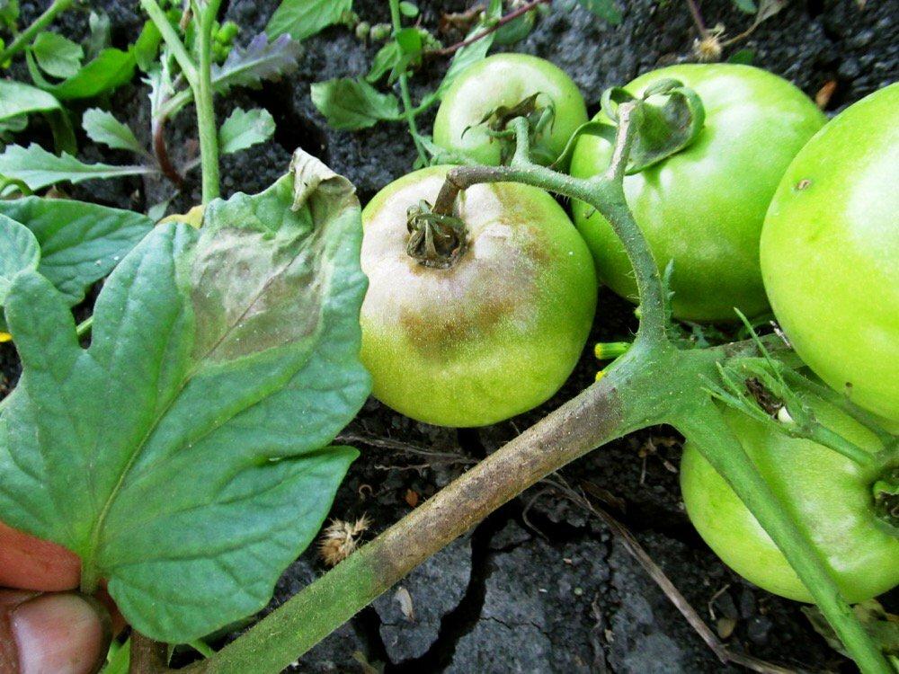 Вершинная гниль томатов – причины, профилактика и меры борьбы