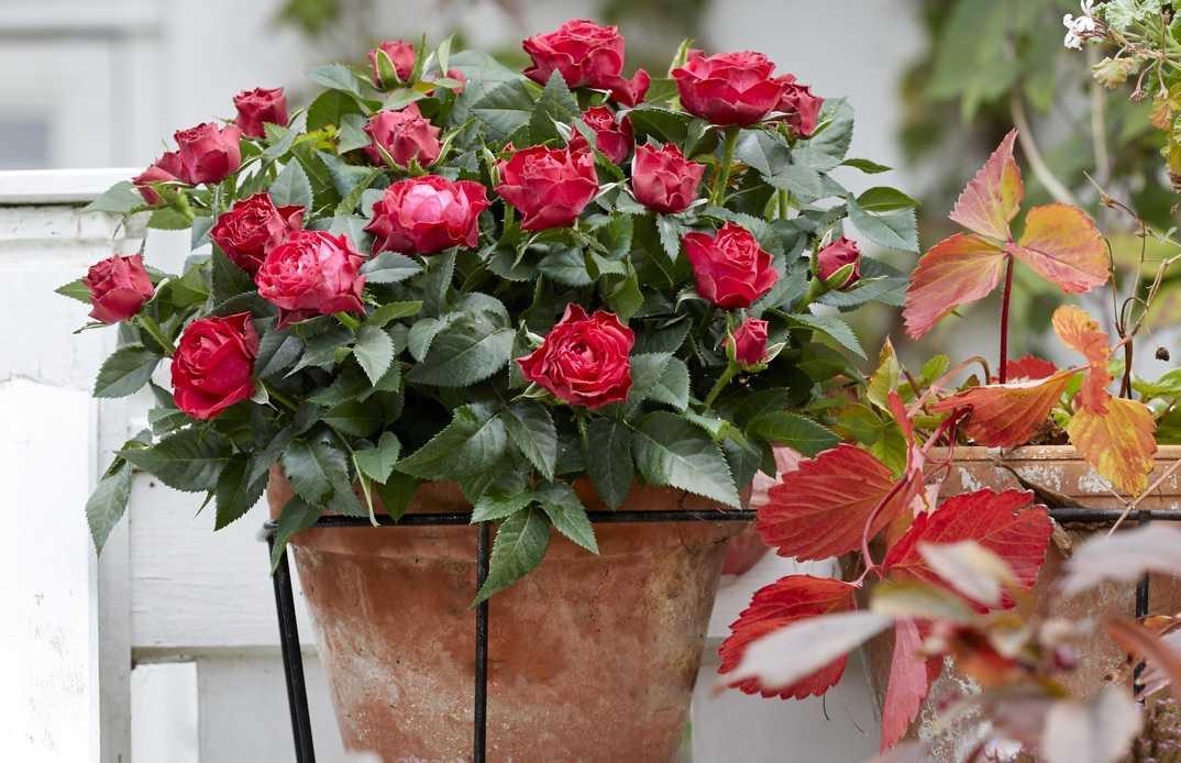 Комнатная роза: уход, посадка, обрезка и размножение