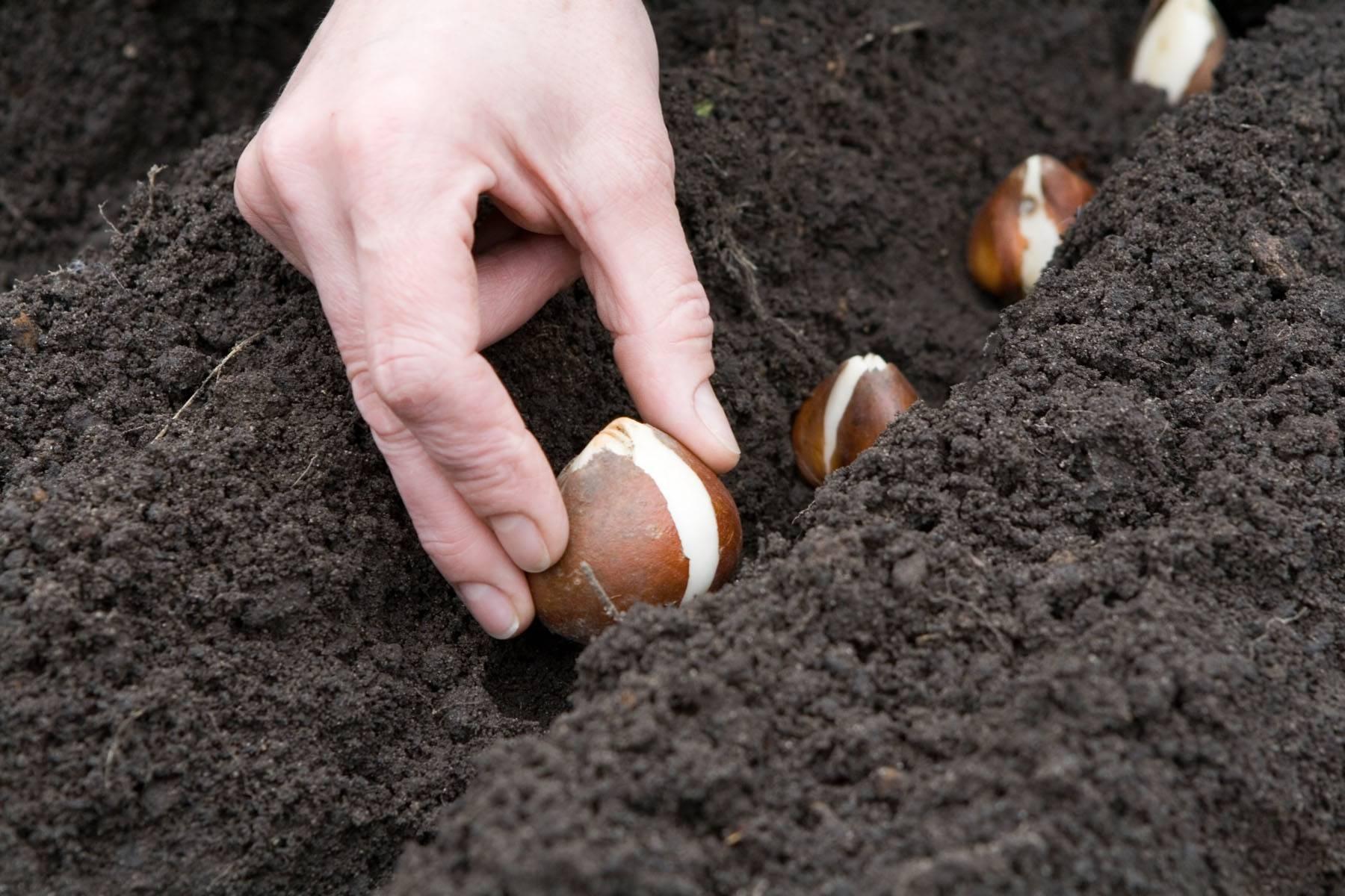 Тюльпаны: время посадки осенью, выращивание и уход в открытом грунте