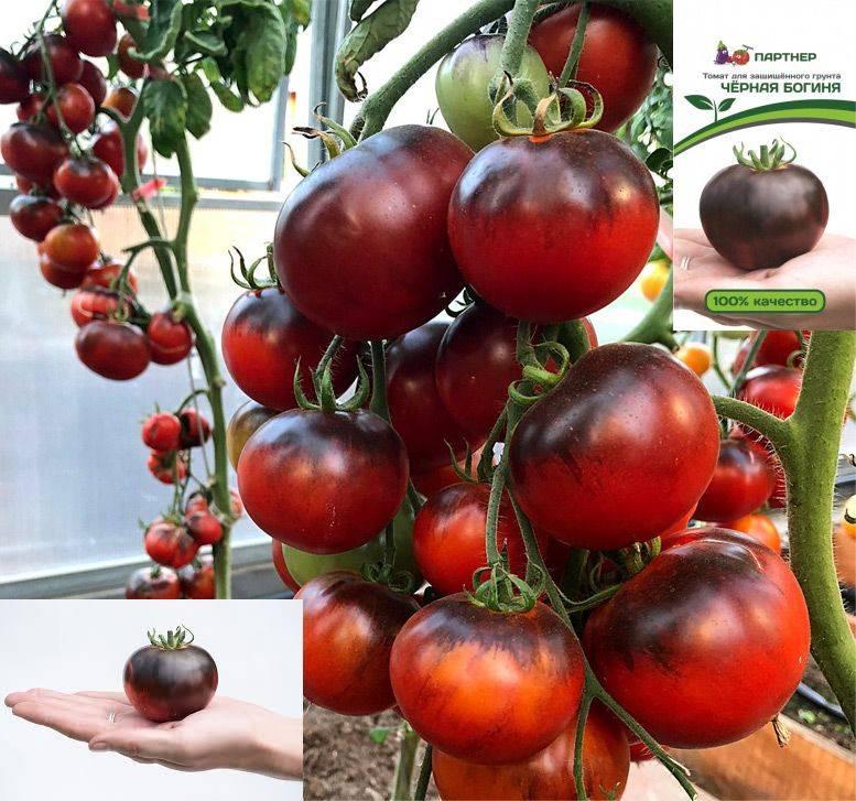 Редкие сорта томатов | tomatland.ru