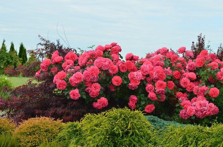 Роза розариум ютерсен: описание сорта, посадка и уход, применение в дизайне