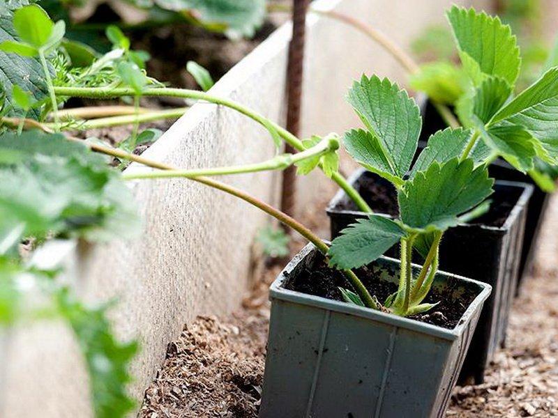 Когда пересаживать клубнику - посадка растений | описание, советы, отзывы, фото и видео